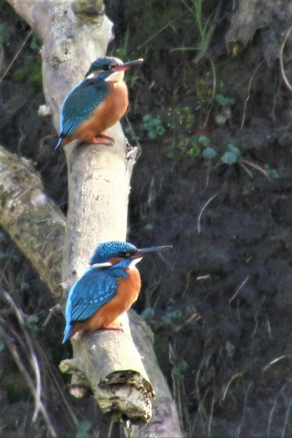 Soort van de maand april: de IJsvogel in het Beekdal
